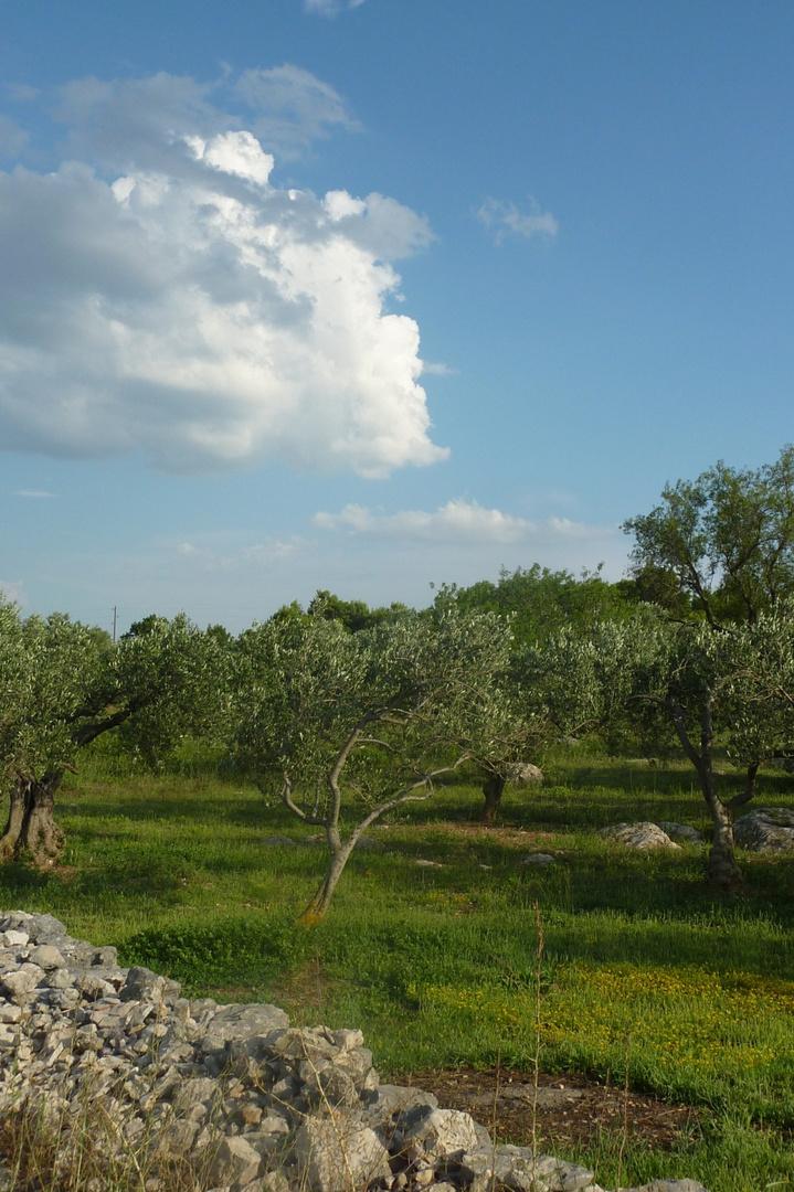Olive trees in Dalmatia