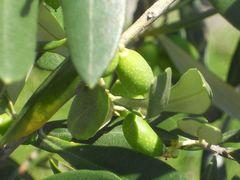 Oliven - noch nicht reif