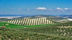 Oliven, Oliven und nochmals Oliven
