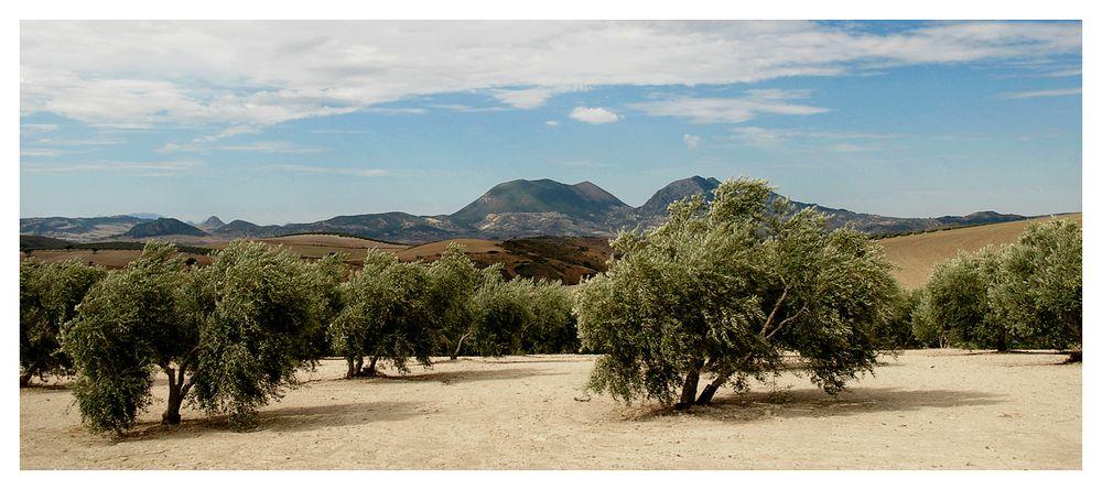[ Olivenbäume ]