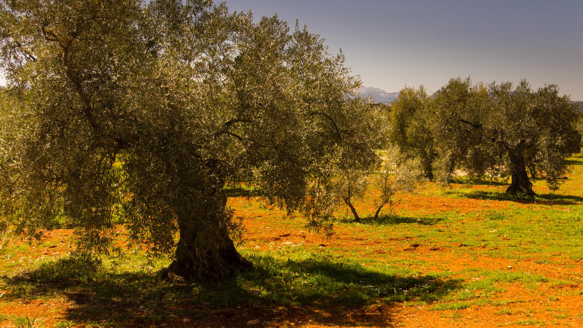 Olivenbäume - Andalusien
