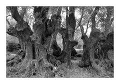 Olivenbäume auf Kreta I