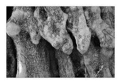 Olivenbäume auf Kreta III