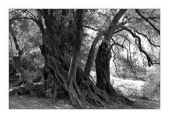 Olivenbäume auf Kreta IV