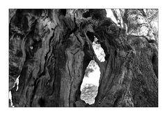 Olivenbäume auf Kreta V