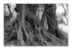 Olivenbäume auf Kreta VII