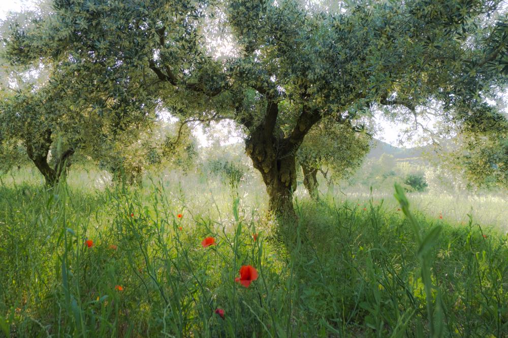 Olivenbäume im Abendlicht der Provence