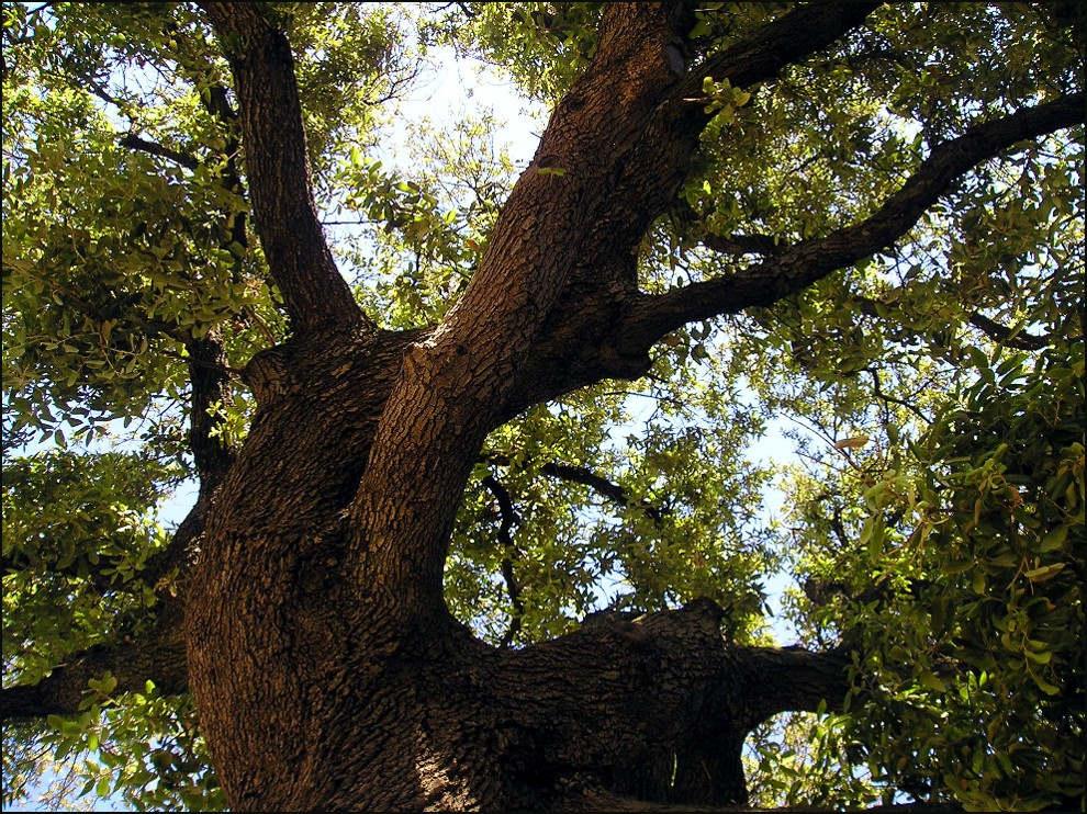 Olivenbaum...