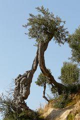 Olivenbaum - als Tor zum Himmel