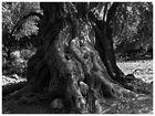 Olivenbaum auf Kreta