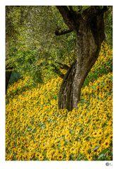 Olivenbaum zwischen Sonnenblumen