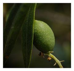 Oliven.ernte