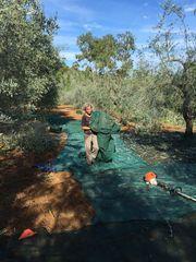 olivenernte auf elba