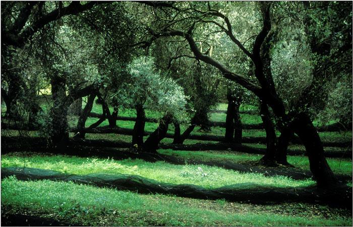 Olivenhain auf Korfu