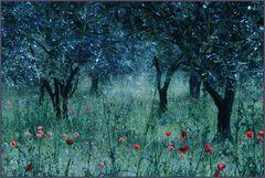Olivenhain in den Corbieren