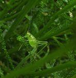 Olivenkrautspringer