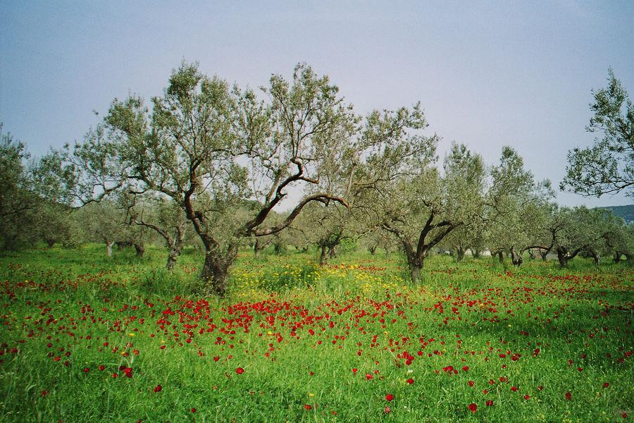 Olivenplantage mit Mohn