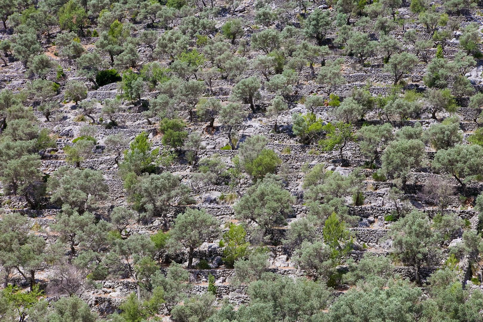 Olivensträucher und Terrassen