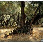 Olivenwald