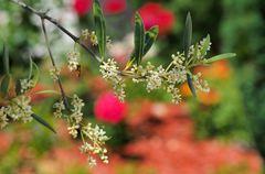 Olives en formation