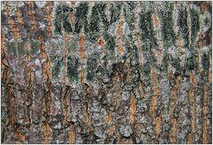 Olivgrüne Schwarznapfflechte (2)