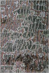 Olivgrüne Schwarznapfflechten (Lecidella elaeochroma)