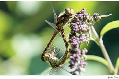 Olympische Gartenspiele der Insekten...