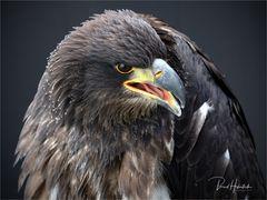 Olympus-Fotosommer in Hellenthal .... junger Weißkopfseeadler