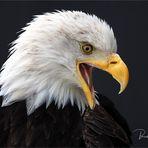 Olympus-Fotosommer in Hellenthal .... Weißkopfseeadler
