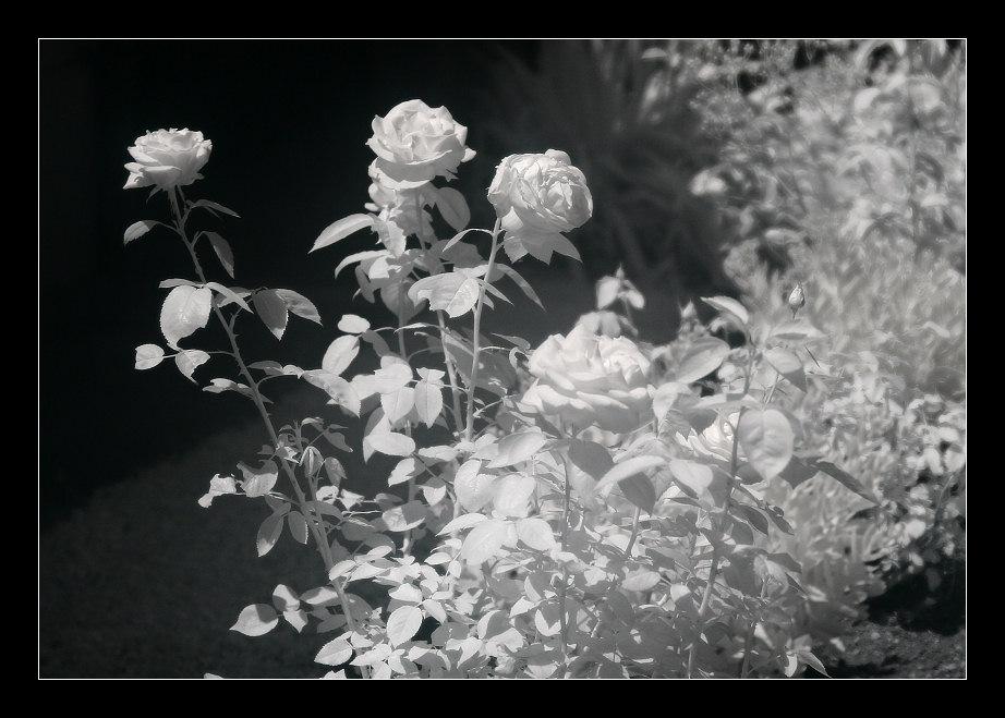 Oma's Rosen