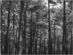 Ombres et lumière dans la forêt landaise