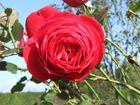 Omi's rote Rosen