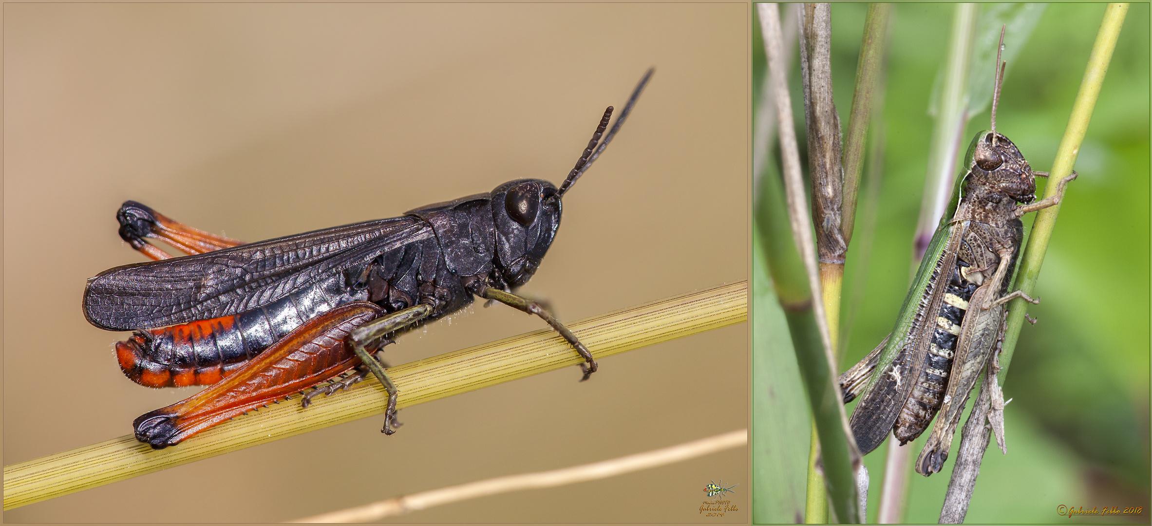 Omocestus rufipes maschio e femmina (Zetterstedt, 1821)
