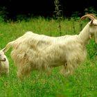 On the farm (18) : Saanen Goat