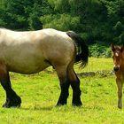 On the farm (20) : Ardennes Draft Horse