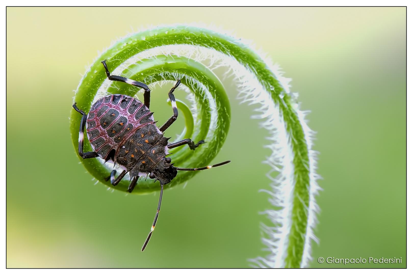 On the spiral (Halyomorpha halys)