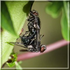 One and one Fly = 10.000 flies