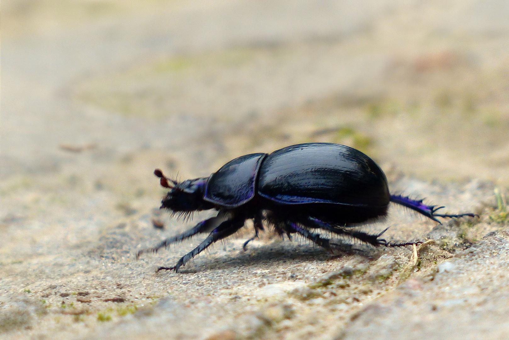 ...one blue beetle