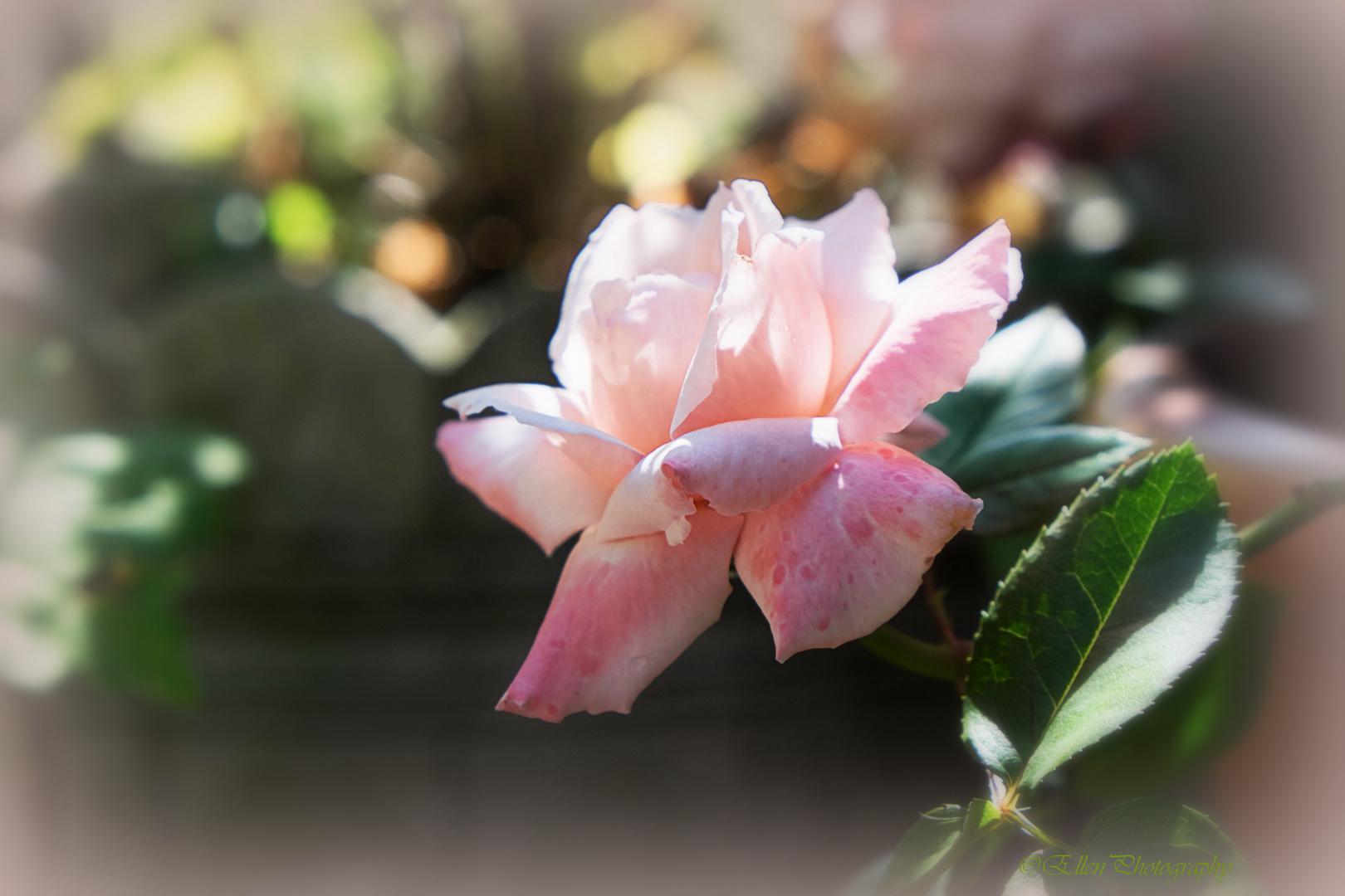 one of my beloved roses