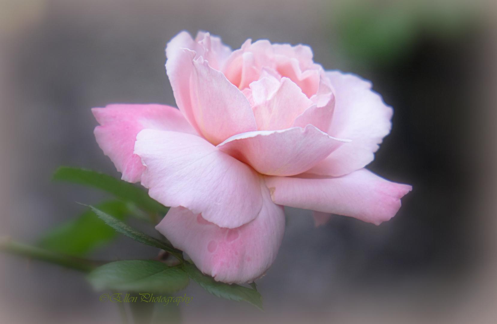 one of my beloved roses II