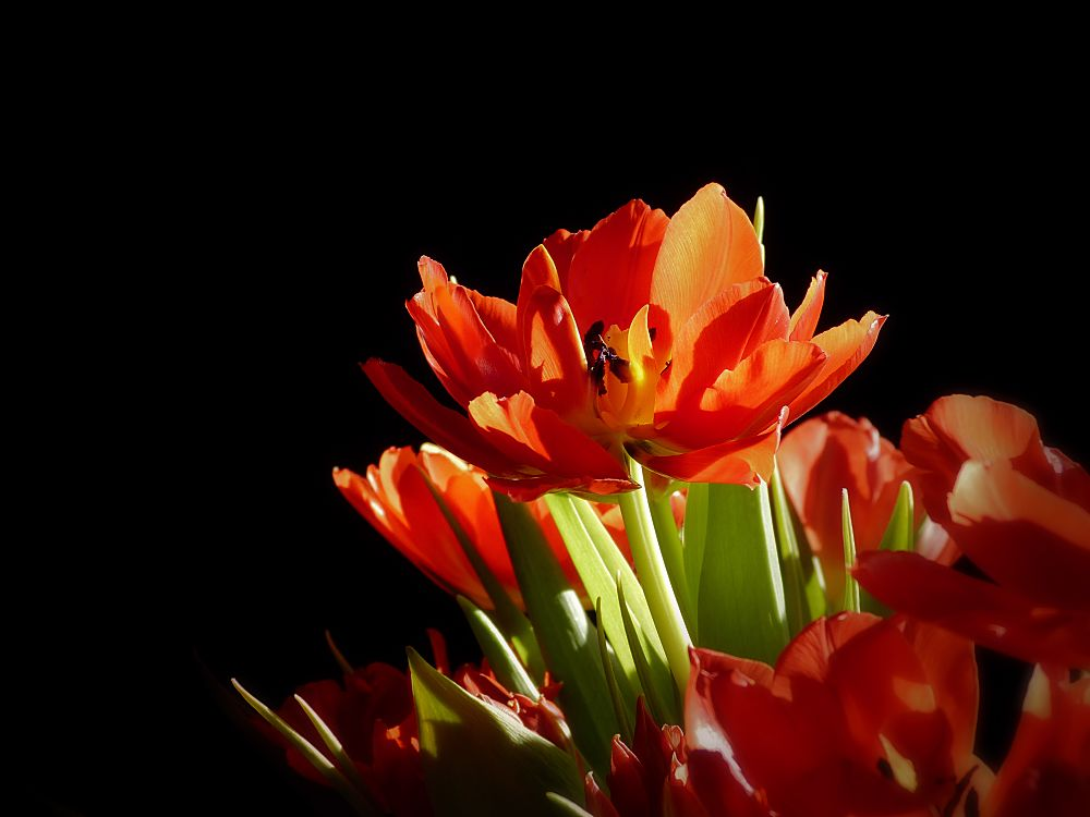 One of red tulips
