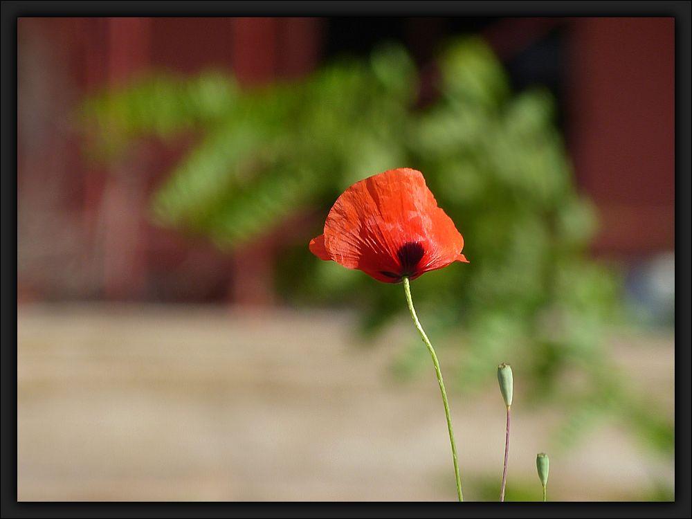 One poppy flower