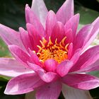 ... one water lily