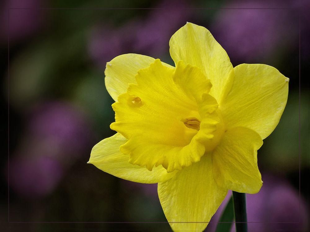 One yellow daffodil
