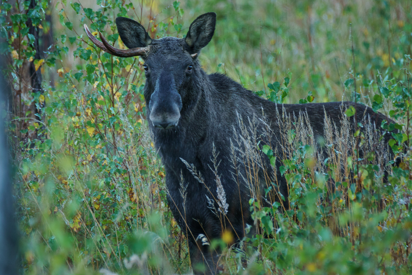 Onehorned moose