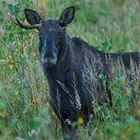 Onehorned moose