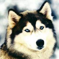 Only Husky