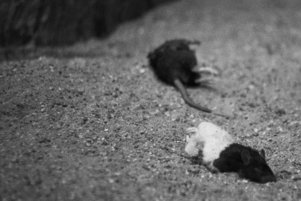 only rats