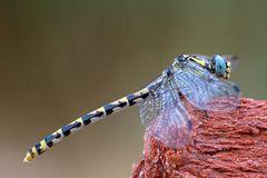 Onychogomphus uncatus, hembra