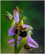 Ophris apifera und Araniella cucurbitina